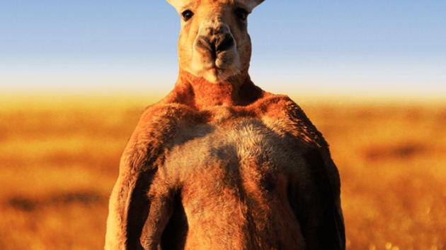 Zemřel nejznámější klokan na světě. Kulturista Roger se dožil 12 let