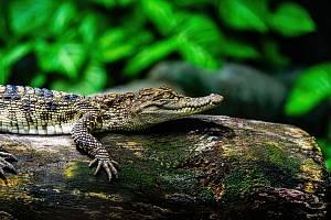 Ačkoli to laika možná překvapí, krokodýli patří mezi velmi rychlé plavce.