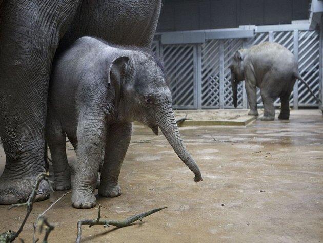 Dvouměsíční sloní samička Sita, která se v pražské zoo narodila 11. února, v pondělí poprvé vyšla do nového venkovního výběhu.