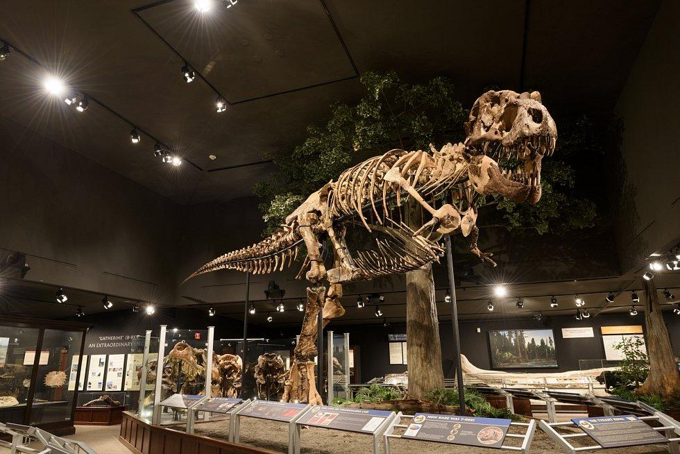 Kostra tyranosaura. Podobný objev učinili vědci v Argentině