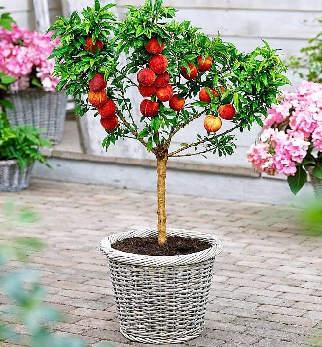 Výběr ovocných stromků vyšlechtěných speciálně jako zákrsky pro pěstování v omezeném prostoru nádob je široký.