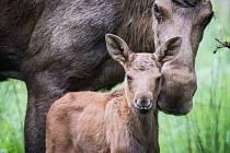 Se sčítáním posledních losů v české přírodě pomáhají vědcům sýkorky.