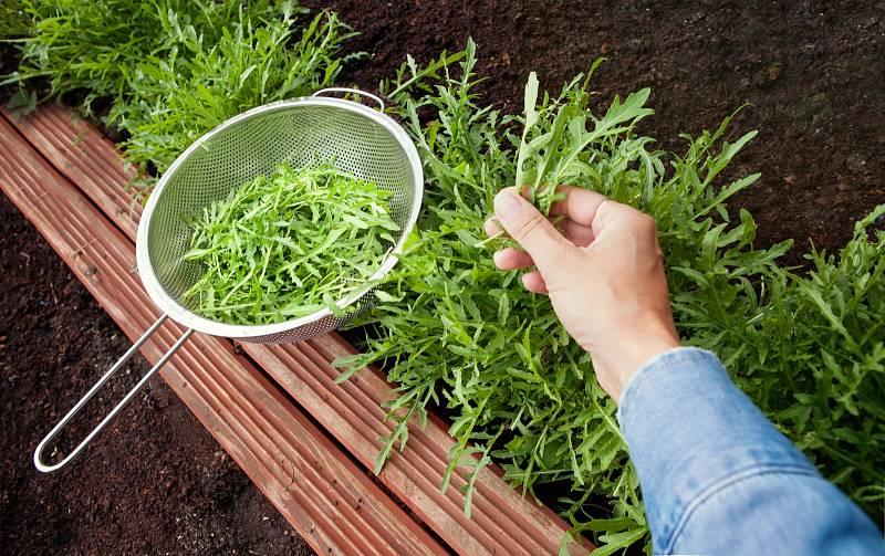 Sklízí rukoly na zahradě