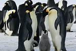 Rodina tučňáků.
