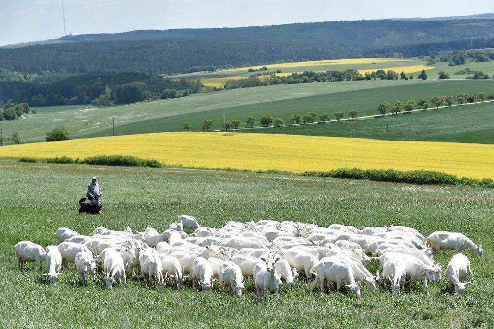 Stádo z kozí farmy Sedlákových na pastvě.
