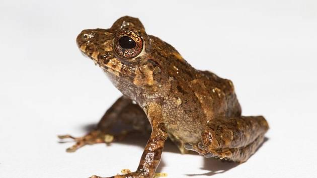 Žabka Pristimantis ledzeppelin je nejnovějším druhovým přírůstkem do rodu žab Pristimantis. Žába Pristimantis cruentus (na snímku) patří mezi nejstarším z rodu. Objevená a popsaná byla již v 70. letech 19. století.