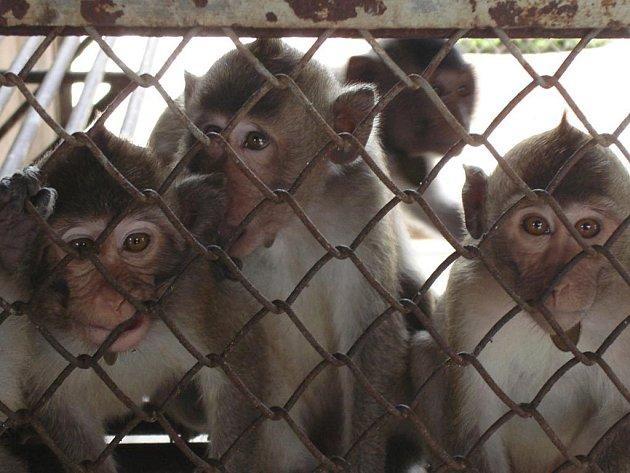 Tisíce makaků dodává Kambodža každoročně do laboratoří v USA a Číně.
