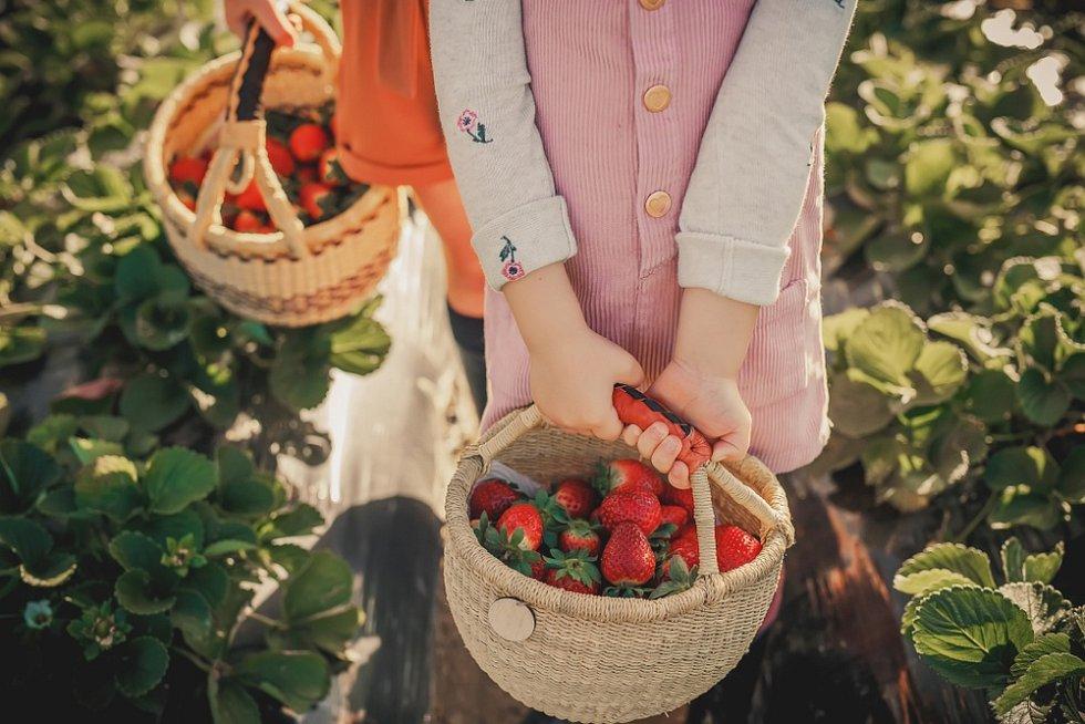 Pěstovat můžete vedle klasických velkoplodých jahod také měsíční jahodníky, které snesou i polostín.