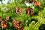 Sirup ze smrkových výhonků usnadňuje vykašlávání, rozpouští hleny, uvolňuje dýchací cesty