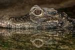 """Trpasličí krokodýli byli nějakou dobu považováni za blízké příbuzné vyhynulého """"rohatce"""""""