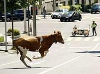 Neobvyklý pohled se nedávno naskytl obyvatelům švýcarského Lausanne. Kráva uprchla z ohrady až do ulic města.
