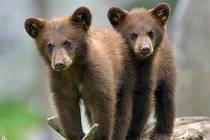 Mláďata medvěda baribala.