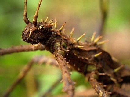 Odborníci z olomoucké a ostravské univerzity objevili při výzkumu v deštných lesích Bornea nové druhy bezobratlých živočichů i neznámou rostlinu. Z národního parku Ulu Temburong si olomoučtí a ostravští vědci přivezli i nový druh strašilky (na snímku).