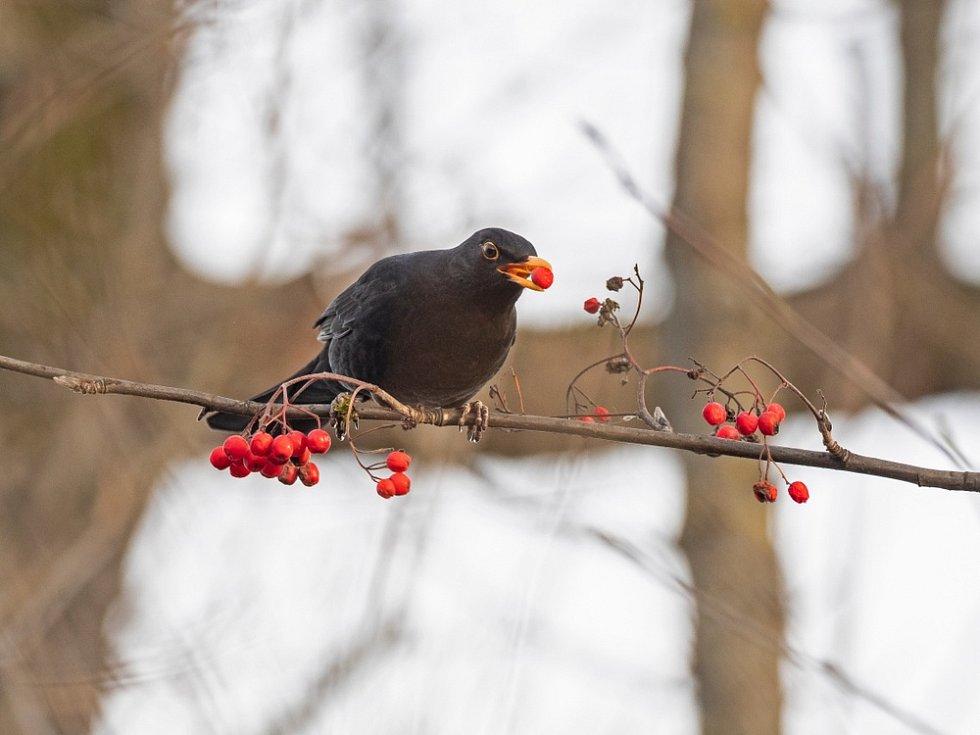 Potravou kosů jsou hmyz, červi, žížaly, vyhledávají také plody ovocných stromů.