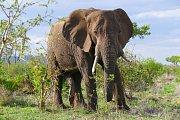 Slon africký. Ilustrační foto