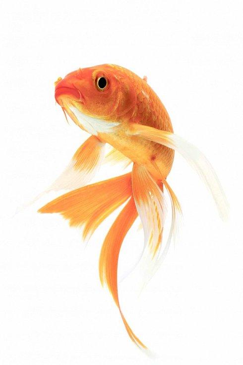 Okrasná rybka