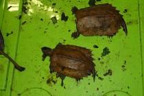 Na letišti v Praze našli celníci v zavazadle 47 želv.