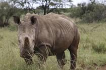 Nosorožec - ilustrační foto