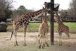 Žirafa síťovaná (Giraffa reticulata)