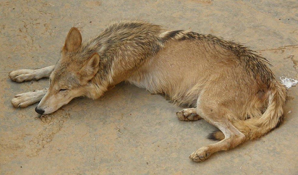 Vlk v Marghazarské zoologické zahradě