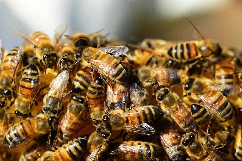 Včely medonosné. Ilustrační snímek