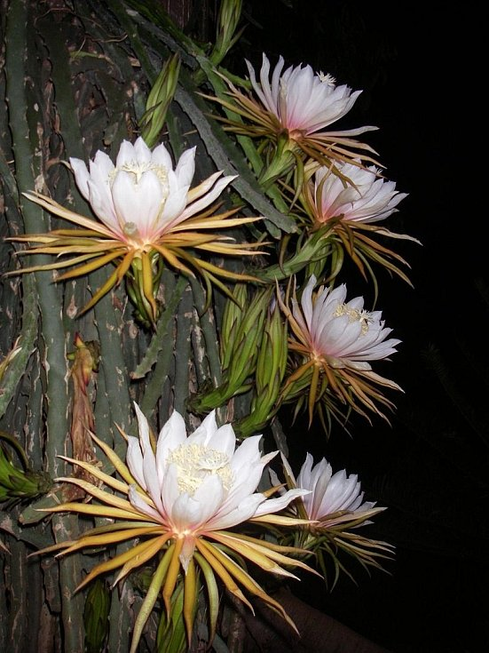 Kaktus Hylocereus monacanthus. Pochází z Kostariky a severu Jižní Ameriky. Délka květu dosahuje 30 cm a barva je bílá nebo růžová