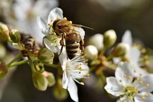 """Včely jsou jednoduše nepostradatelné. Bez zdravého spánku jsou """"línější"""", což může mít pro lidstvo fatální následky."""