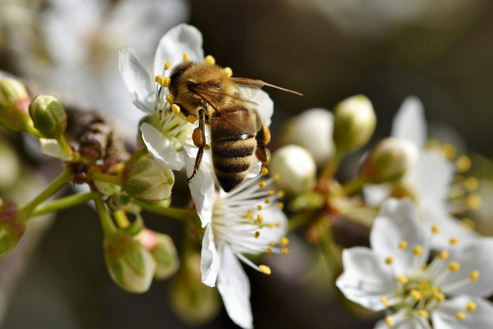 Včela. Ilustrační snímek