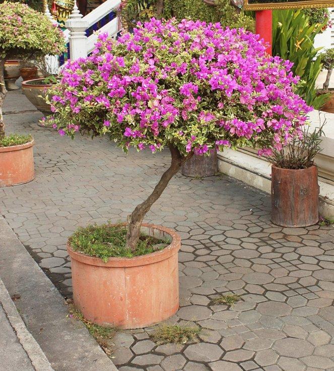 Bugenvilea je dřevnatá stálezelená rostlina