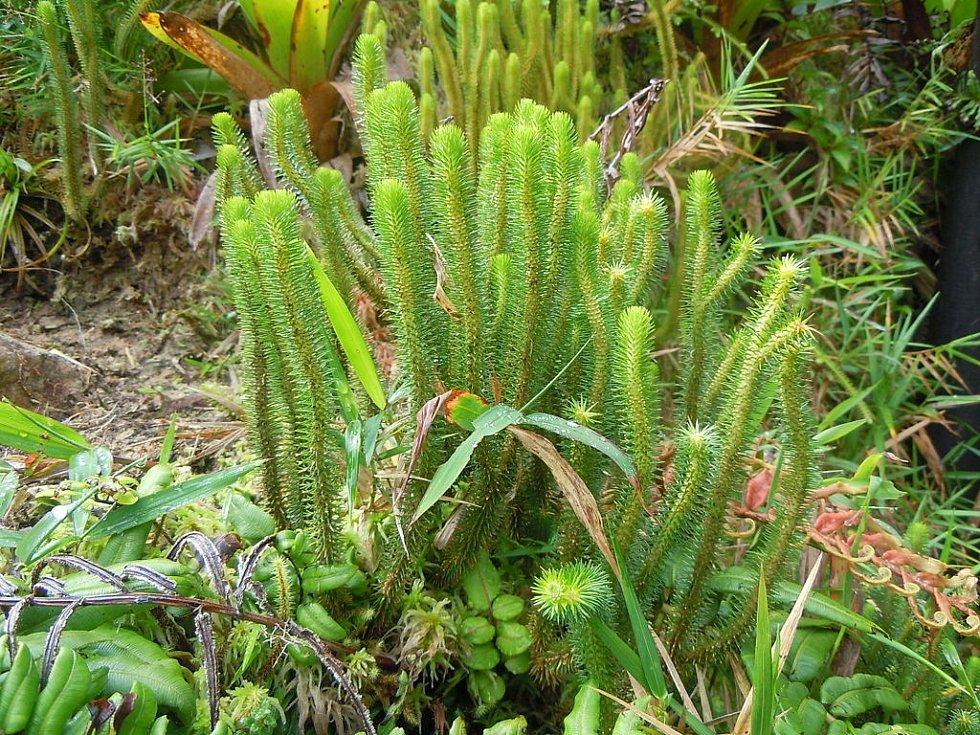 Jinou unikátní rostlinou vyskytující se pod sopkou je Lycopodium sieberianum
