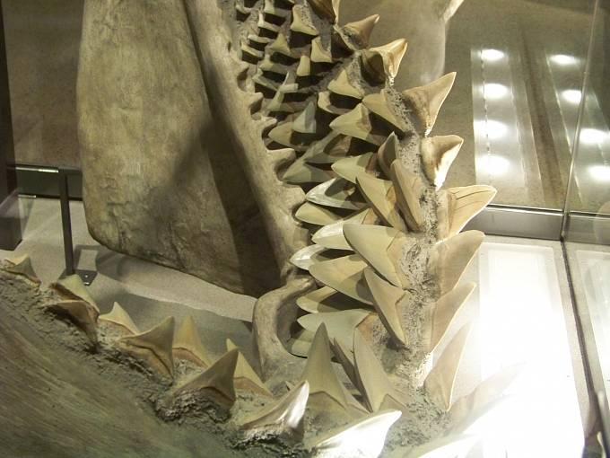 Detail zubů megalodona.