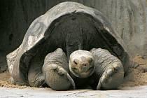 Poslední jedinec želvy sloní pintské známý jako Osamělý George, který v neděli uhynul na Galapágách, má v Praze dvojníka. Samec Antonio (na nedatovaném snímku) je Osamělému Georgovi tak podobný, že se odborníci domnívali, že jde také o želvu sloni pintsko