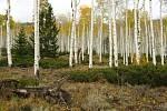 Les Pando v americkém Utahu, nejtěžší živý organismus na Zemi