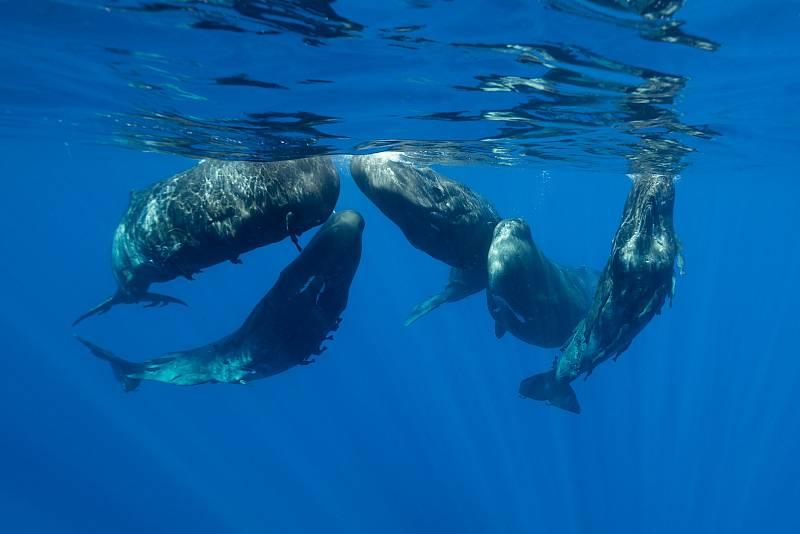 Již přes rok se vědci na projekt logisticky připravují, vyvinuli a vyrobili celou řadu pomůcek. Například podmořské drony s kamerami schopných se potopit do kilometrových hloubek, kam se vorvani vydávají za chobotnicemi.