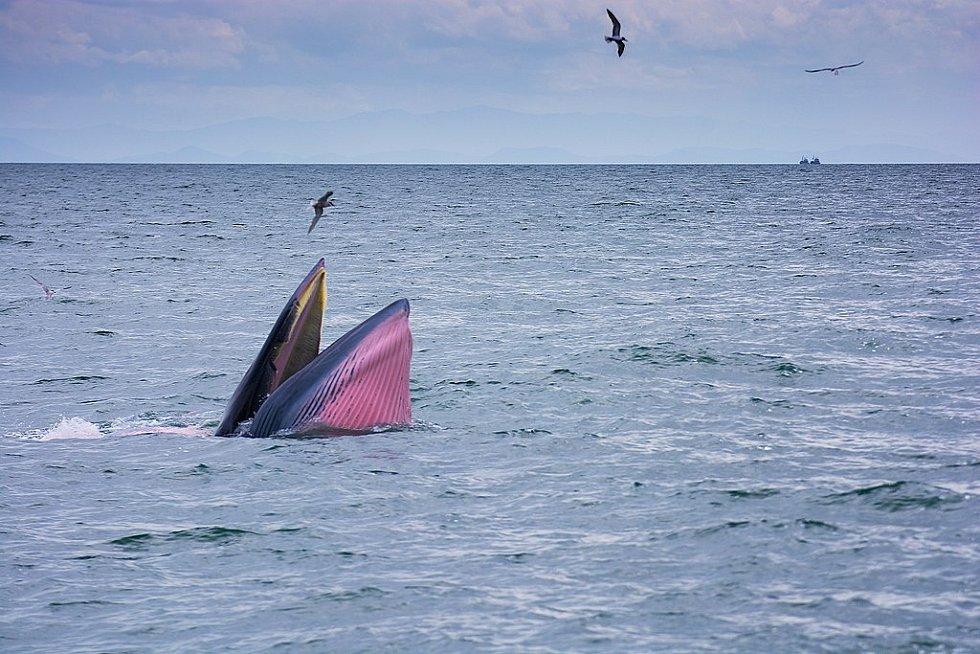 Podobně jako jiné velryby vyplouvají pravidelně k hladině, kde jednak hledají potravu, jednak kvůli dýchání