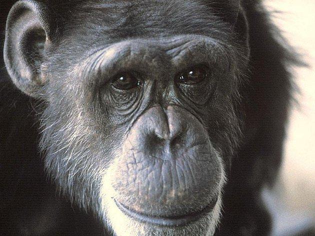 V relativně pokročilém věku 52 let zemřel v jihoafrické zoologické zahradě šimpanz, který svého často proslul kouřením cigaret.