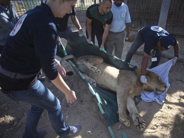 Trojici vychrtlých lvů, kteří až dosud přežívali v zoologické zahradě v palestinském Pásmu Gazy, dnes převezli do Izraele. Odtud zamíří za lepším životem do přírodní rezervace v Jordánsku.