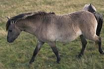 divoký kůň/ilustrační foto