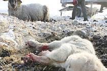 Otřesný případ týrání hospodářských zvířat se objevil u obce Lbín nedaleko Litoměřic. V naprosto nevyhujících podmínkách na zdejší louce živoří stádo přibližně 200 kusů ovcí a jeden kůň.