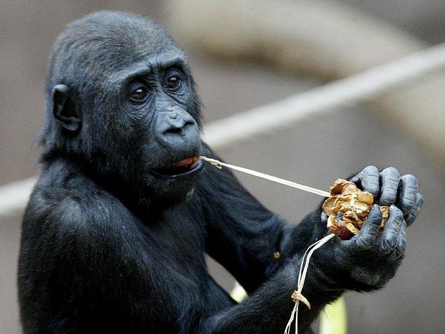 Opičí sameček dostal jméno Kiburi.