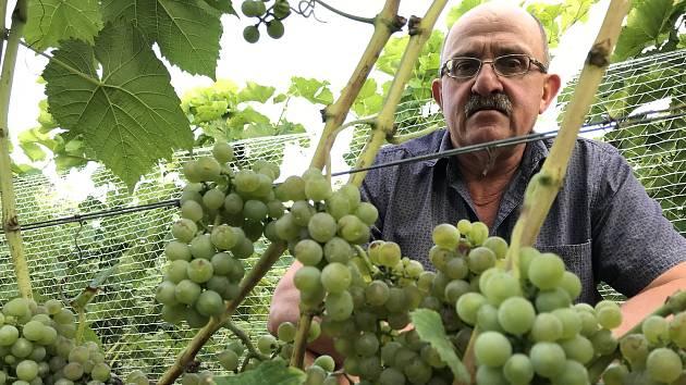 Vinař Oldřich Palička z Odrlic ukazuje ranou odrůdu Solaris.