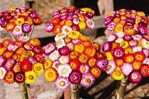 Smil listnatý (Helichrysum bracteatum)