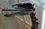 Obří nelétavý pták Aepyornis maximus