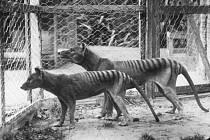 Poslední tasmánský tygr uhynul v zajetí roku 1936.