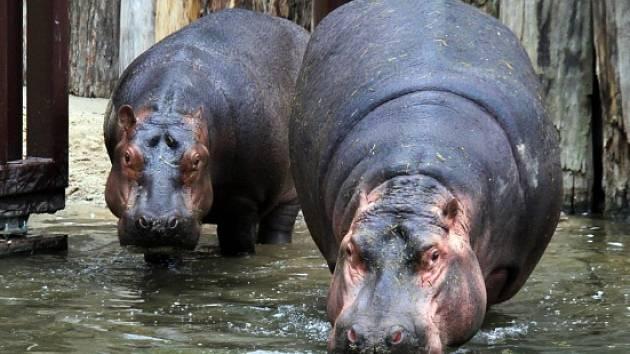 Hroši se do dvorské zoo vrátili po 14 letech.