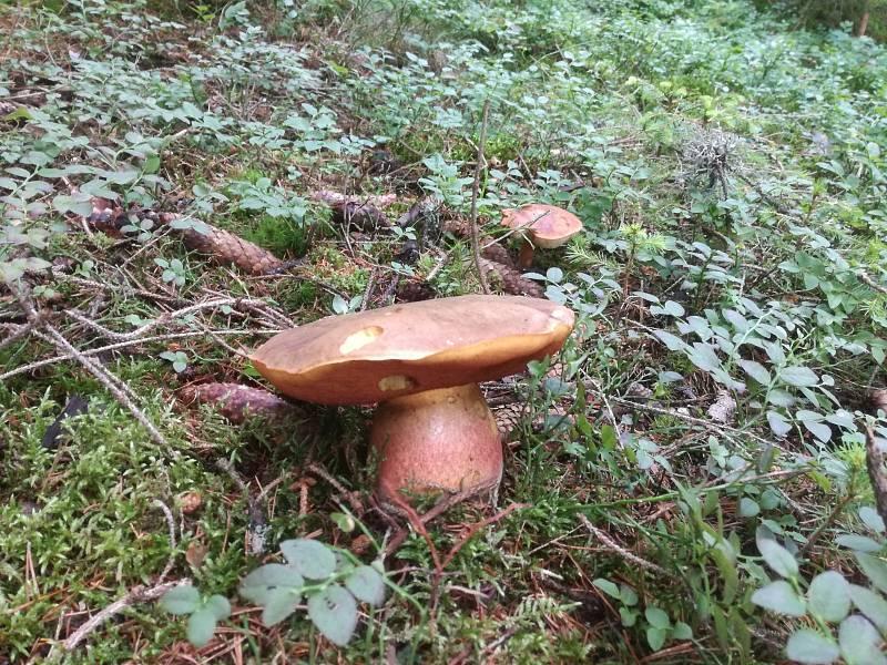 Současné počasí svědčí houbám i na Šumavě.