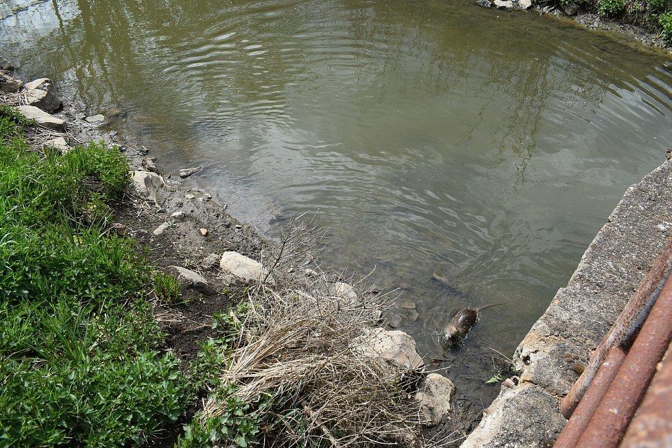 Řeku v otráveném úseku obývají i nutrie.