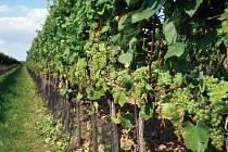 Slovácká podoblast - vinohrad