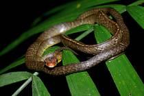 Drobný užovkovitý had Chironius scurrulus, přezdívaný také jako hladká mačeta savany