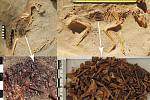 Pozůstatky potravy (ryby) v břiše kočky (vlevo) a psa (vpravo) na hřbitově v Bereniké